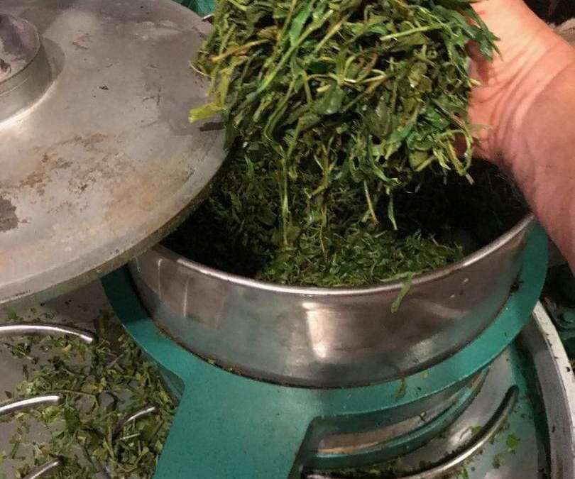 Fairhope Tea Plantation; Historic Alabama tea Farm