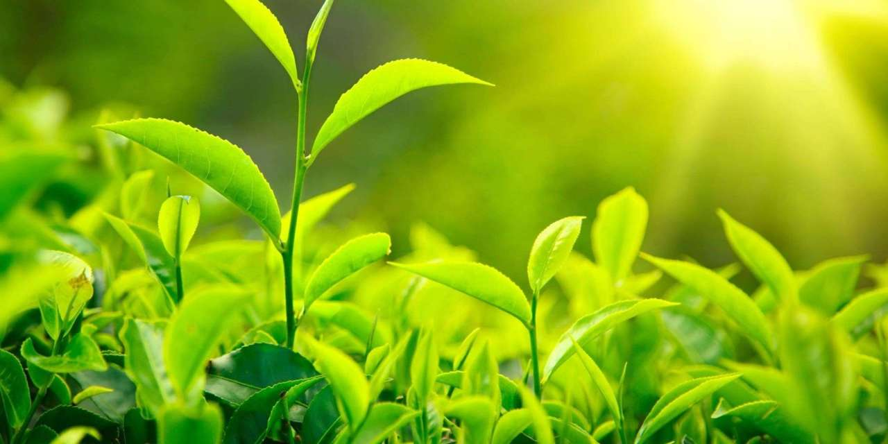 Green Tea: Healing And Serenity In A Cup