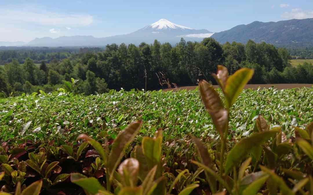 A Short History of Tea in Chile