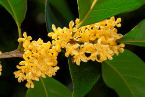 Yellow osmanthus flower, closeup with leaves