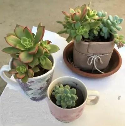 Succulents in Tea Mugs - May