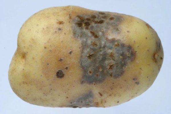 Болезни и вредители картофеля: Вредители и болезни ...