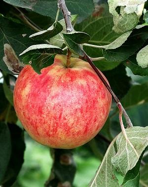 Зимние сорта яблок с описанием и фото: Зимние сорта яблонь ...