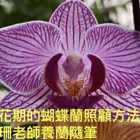 6.正在開花期的蝴蝶蘭如何照顧-佩珊老師養蘭隨筆