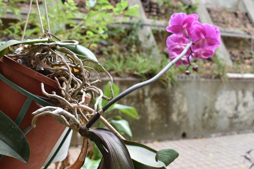 不用水苔種植蘭花
