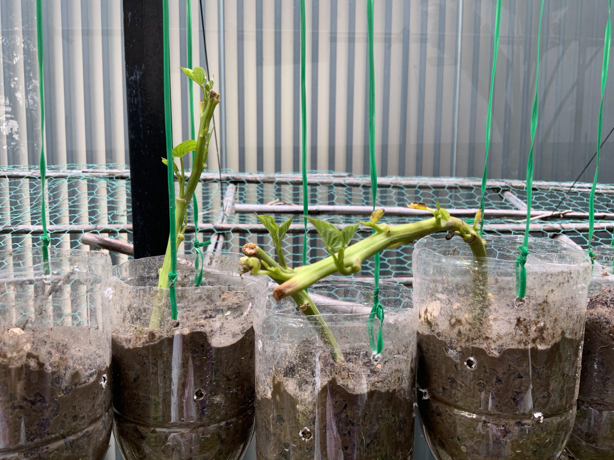 環保愛地球寶特瓶回收 種菜日記 地瓜葉蕃薯葉