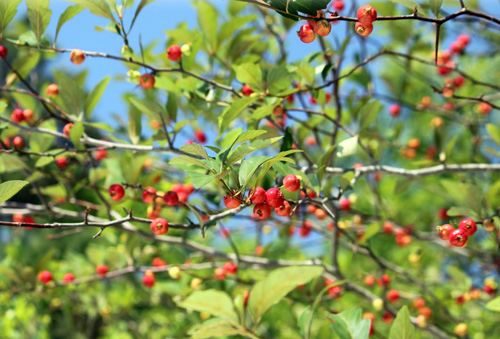 Mayhaw is a beautiful and useful plant!