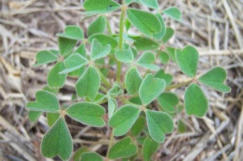 Small Oca plant.