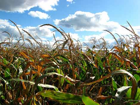 maiz transgenico