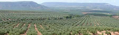 Jaén, olivos.