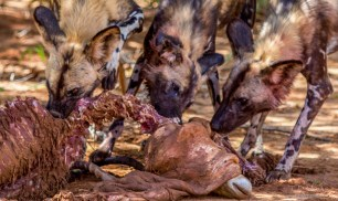 African Wild Dog Pack 4