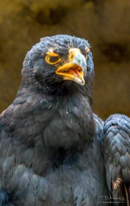 Black (Verreaux's) Eagle 2