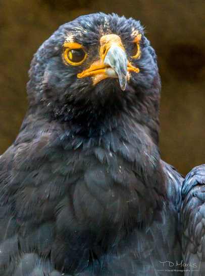 Black (Verreaux's) Eagle 3