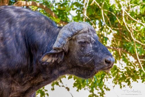Buffalo Bull 2