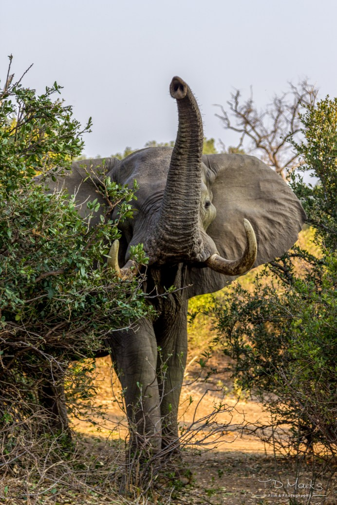 Elephant Bull 3