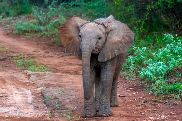 Elephant Calf 2