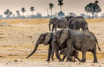 Elephant Herd 5
