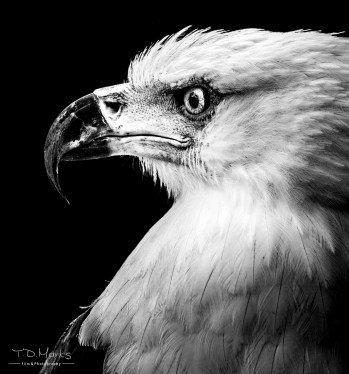 Fish Eagle Portrait-6
