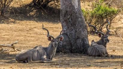 Kudu Bull 1