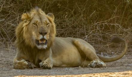 Lion (Male 16)