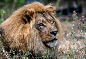 Lion (Male 19)