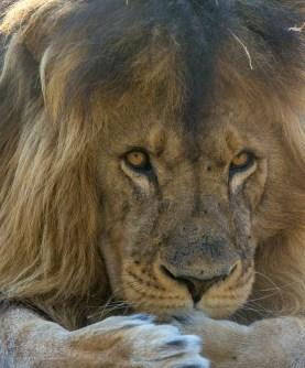 Lion (Male 5)