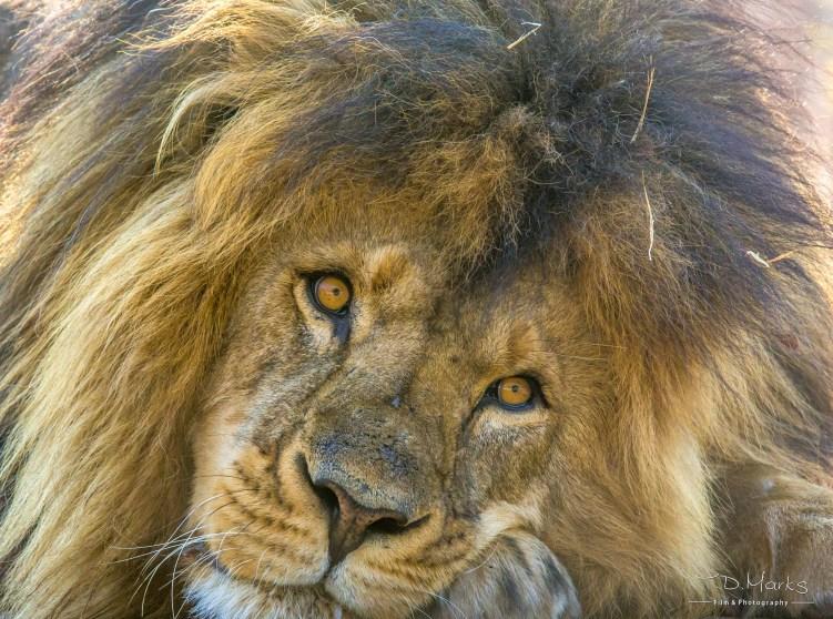Lion (Male 6)