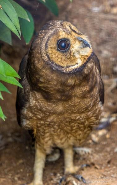Marsh Owl 1