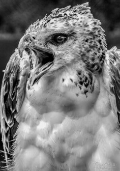 Martial Eagle 7