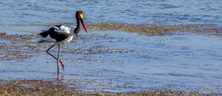 Saddle-billed stork 3
