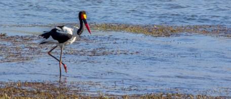Saddle-billed stork 3