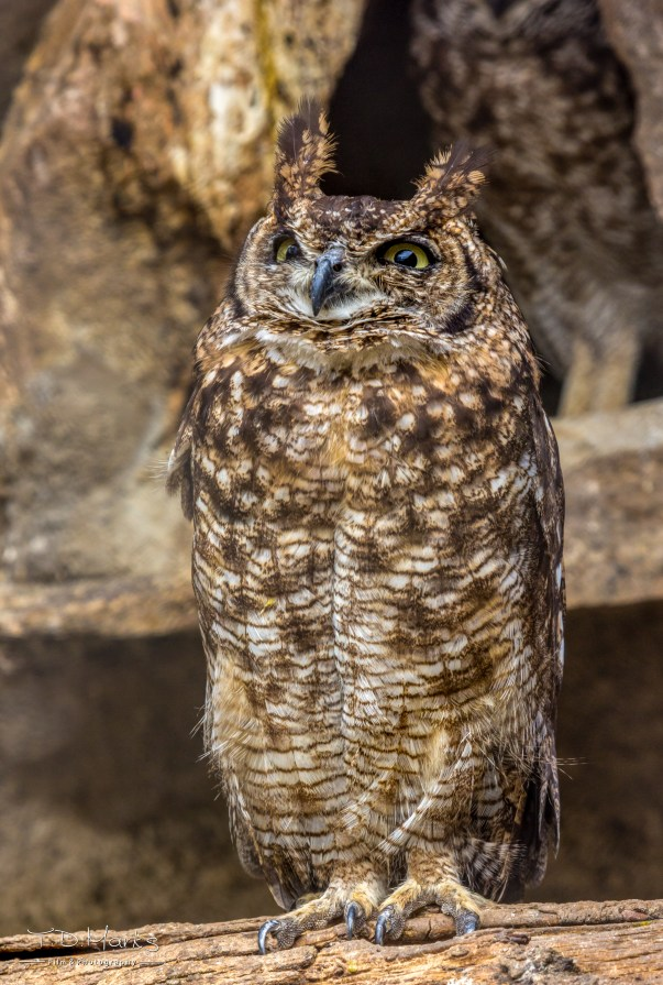 Spotted Eagle Owl 1