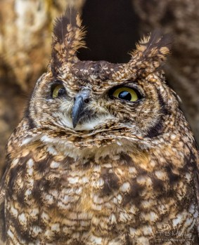 Spotted Eagle Owl 2