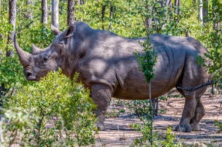 White Rhino 17