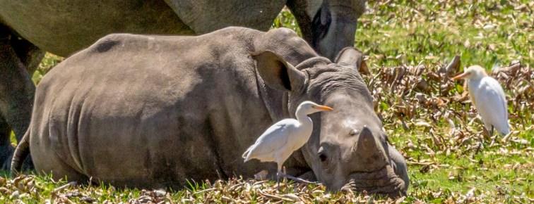 White Rhino 7