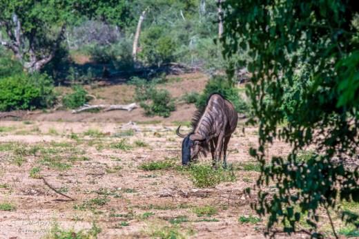 Wilderbeest 8