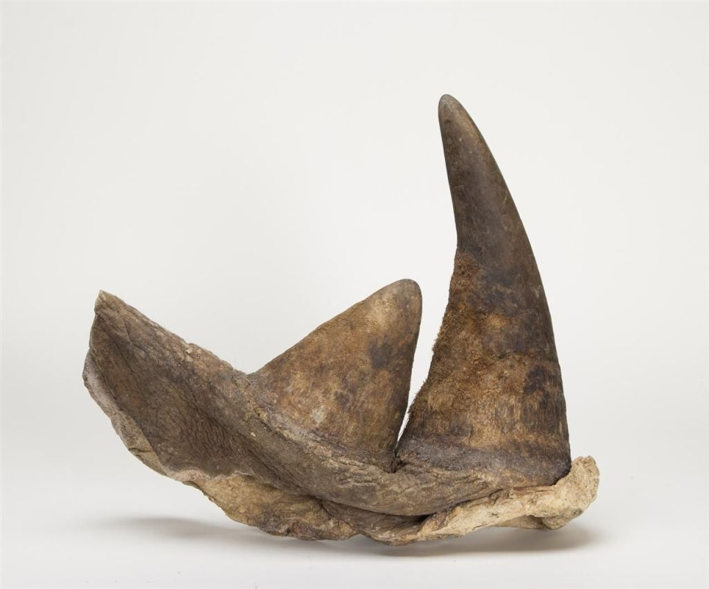 A pair of Kenyan rhinoceros horns circa May 1964 length 28.5 cm and 15 cm. Estimate USD$15,000 to $20,000. Sold for USD $74,750 [Image: Alain R Truong]