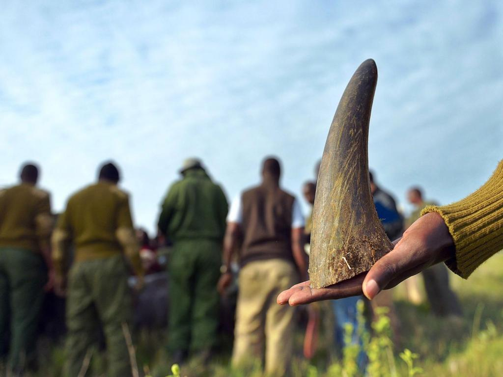 Humanely sawed-off rhino-tip at Lewa wildlife conservancy  [Image: Tony Karumba/AFP/Getty]