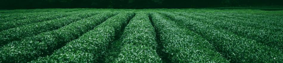 India Tea Field