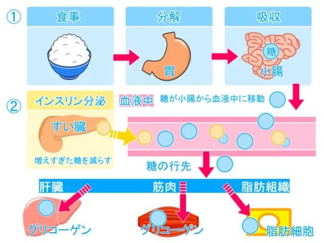 糖質の吸収のメカニズム