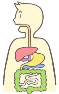 胃や腸などの消化器官