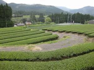 知覧町後岳の茶畑2