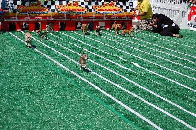 chihuahua racing