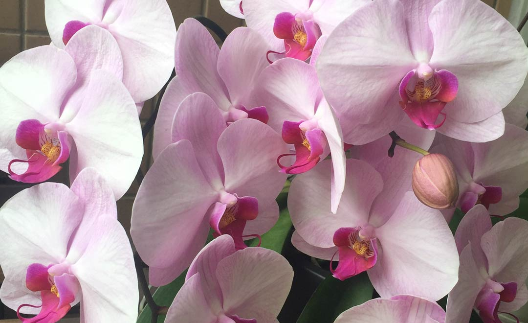 orchids, orchid blossoms, spring, bsteis