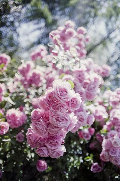 A beautiful pink rosebush, hope for year 2021