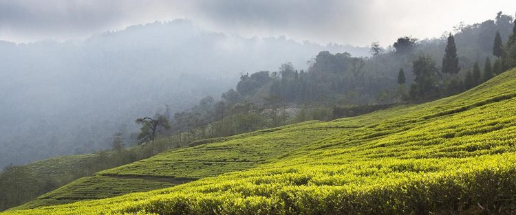 Sikkim's Temi Tea Garden: royal with a British connection