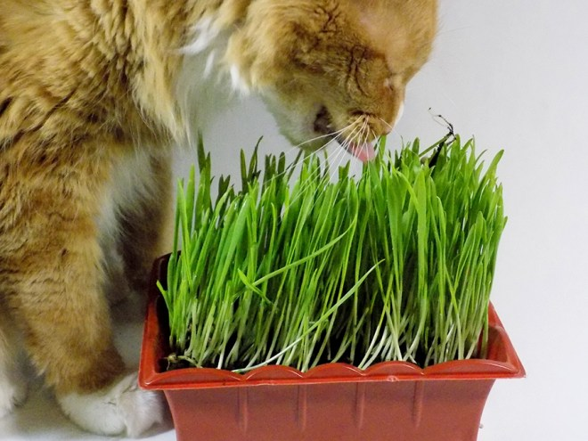 Jiffy Cat Grass Kit Review - Quincy Eating Cat Grass