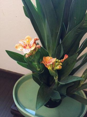 "The flower for Gion festival in Kyoto! "" Leopard flower"""