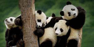 panda conservation