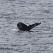 A humpback whale (Megaptera novaeangliae) tail fluke.